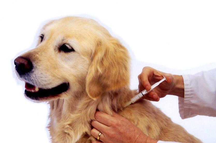 Вакцинация собак - какие прививки ставить
